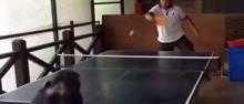 大猩猩跟人打乒乓球