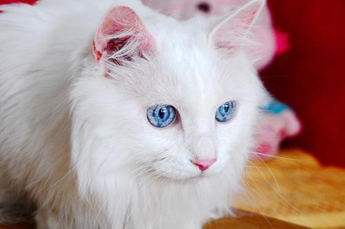 纯种波斯猫价格 建议多了解它的性格