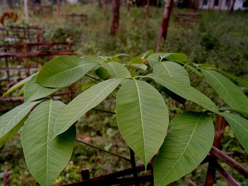 大戟目   科:  大戟科   属:  橡胶树属   种:  巴西橡胶树   分布