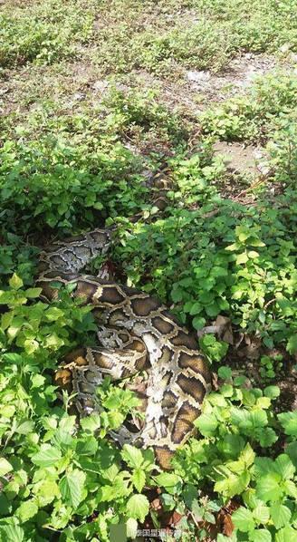 【转】北京时间      蟒蛇闯入院子吃鸡 看门狗奋力阻挡累晕倒 - 妙康居士 - 妙康居士~晴樵雪读的博客