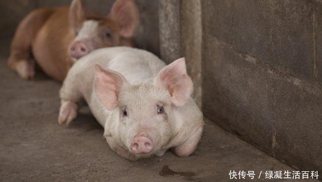 7月27日猪评:猪价上涨短暂熄火?期待的暴涨或将延迟?