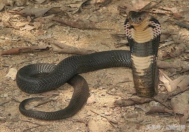 中国剧毒蛇类-中华眼镜蛇