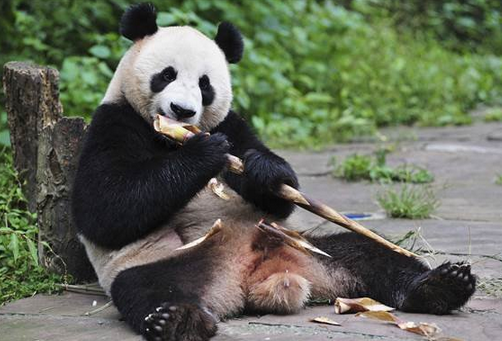 为什么大熊猫吃竹子就能活?
