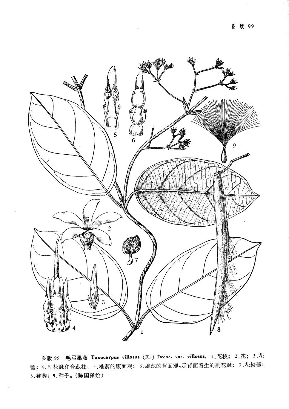 广花弓果藤toxocarpuspatenstsiang