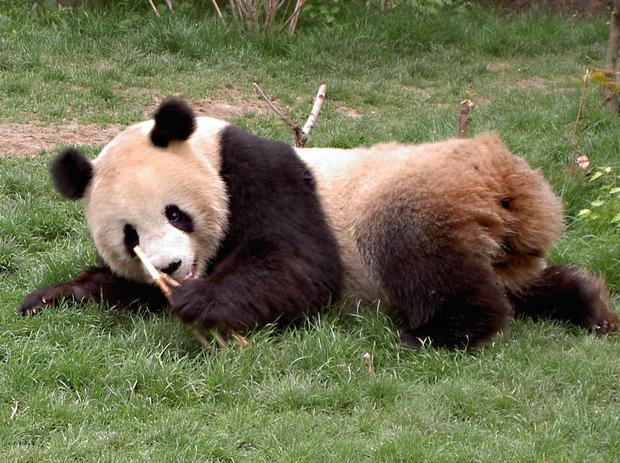 熊猫的尾巴是什么颜色的?