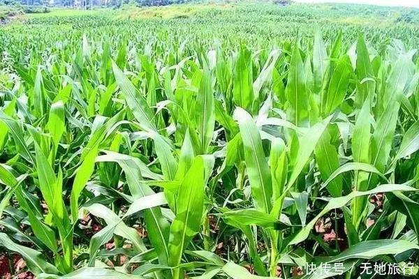 夏季蒸煮模式开启,玉米也怕热害,不想减产,以下措施可预防