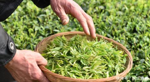 你还在老习惯泡绿茶吗?泡绿茶的正确方法很多人天天喝却不知