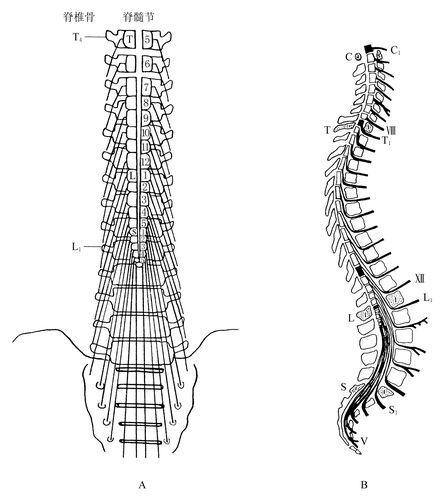 脊髓圆锥彩超图