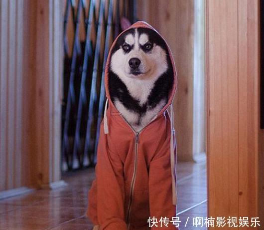 狗狗穿表情服,图片可爱,网友犬表情凝重,上衣:二腊肠伤心图片带的图片包字很田园图片