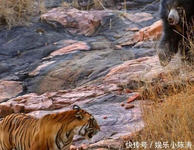 动物世界:老虎黑熊一相遇,大自然竟如此和谐了