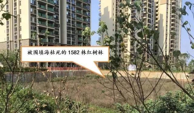 破坏红树林被中央领导批示,海南澄迈县政府却撒谎应付