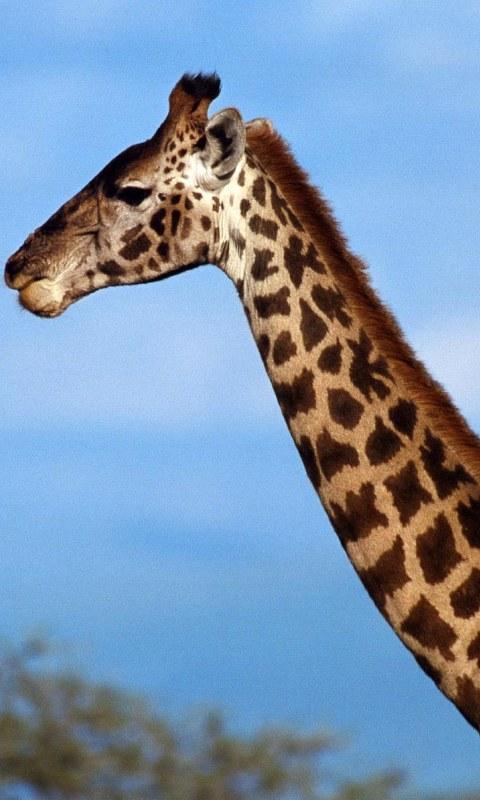 长颈鹿动态壁纸 1.