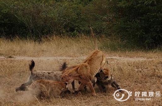 鬣狗发现幼崽被狮子咬死后,十分伤心,为给幼崽报仇掏肛狮子!