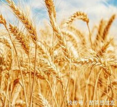 玉米、小麦绿色品种指标体系发布