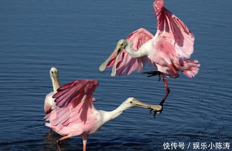 粉红琵鹭,世界上会变红的鸟不止你火烈鸟一个,少女系大型鸟
