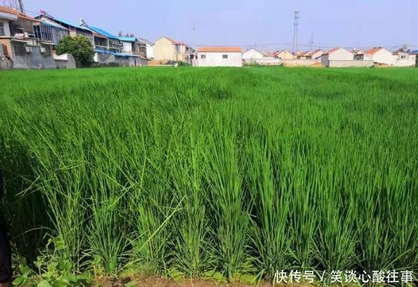 水稻赤霉素打多了怎么办施用钾肥壮杆、科学管水,防止后期倒伏