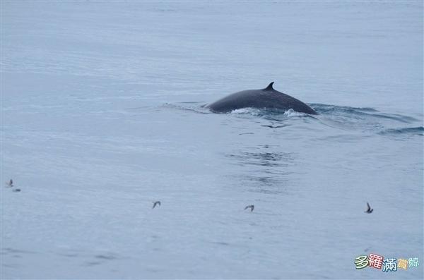 神秘角岛鲸现身科学家狂喜:全球第2次看到活体! -  - 真光 的博客