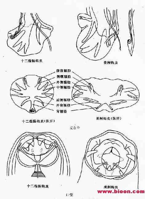 十二指肠细胞手绘图