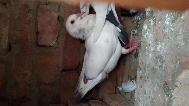 哪位师傅能告诉鸽子怎么分公母图片