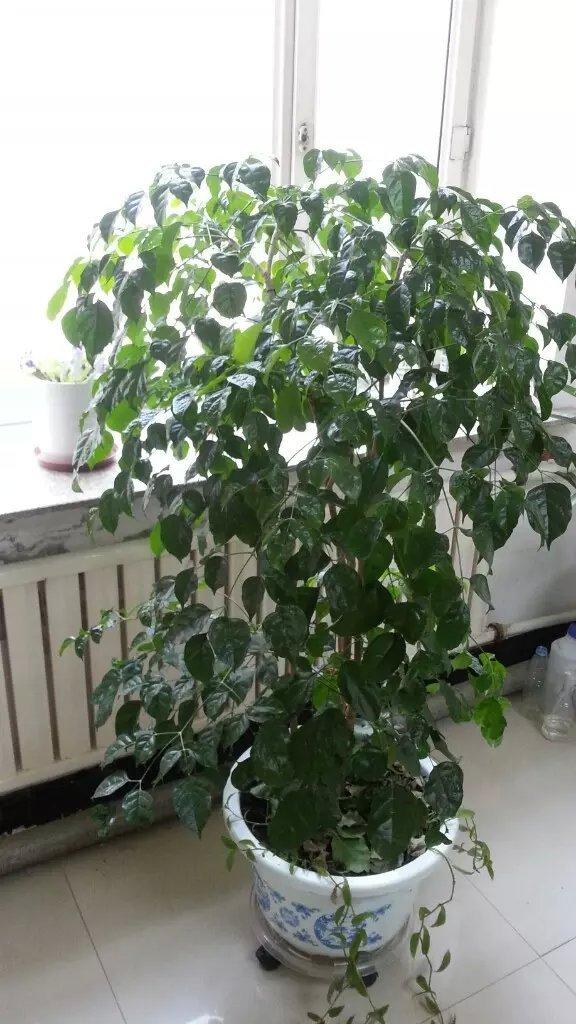 幸福树叶子与什么药材搭配能消除水肿?