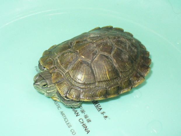 斑点乌龟设计素材