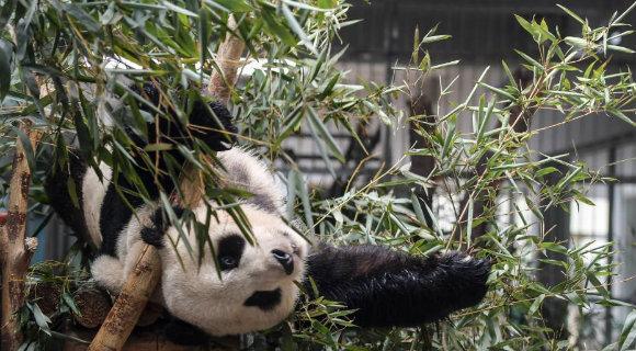 济南动物园大熊猫与游客见面