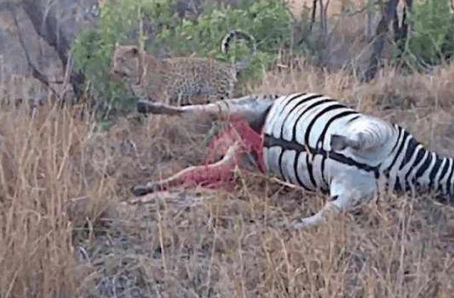 花豹看到死去的斑马,准备饱餐一顿,接着一幕让它落荒而逃